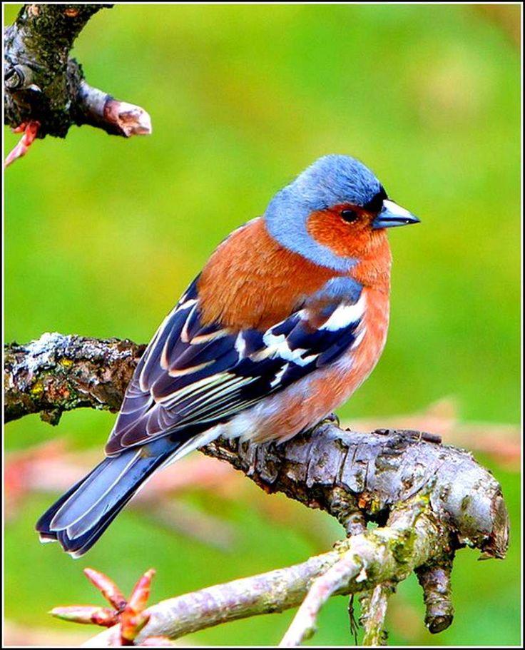 17 meilleures id es propos de pinson des arbres sur pinterest boucles d 39 oreilles d 39 oiseaux - Eloigner les oiseaux des arbres fruitiers ...