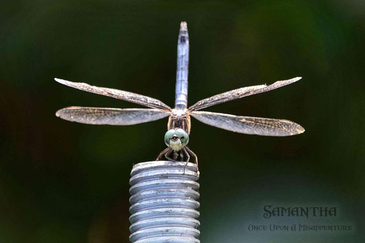 Dragonfly Hunting by Samantha Cullen