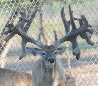 whitetail buck named mf because he is one big mf i have a daughter out of him and her mom is out of the great maxbo she is for sale once she