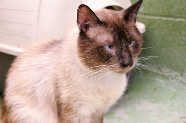 Sexe: Mascle  Raça: Siamès  Naixement: 17/02/2016    El Kadett el vam trobar abandonat, és un gat... #adoptar #mascotas #adopcion #perros #gatos