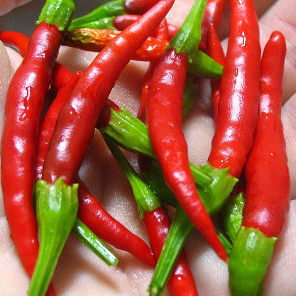 feasibility of cayenne pepper capsicum annuum India is one of the leading herbs producer and exporter in the world several meticulous researches were conducted and experimented with herbs they arrived at more precise conclusions about the usefulness of diverse plants and herbs that are utilize.