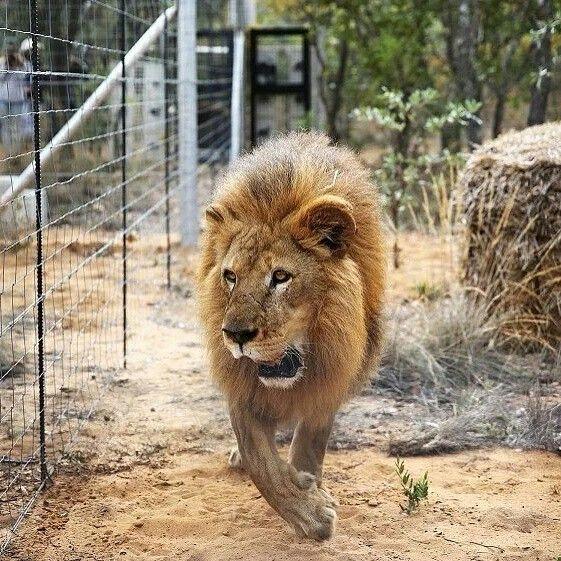 一隻從馬戲團獲救的 #獅子 #Lion 抵達南非 Emoya 貓科動物保護區,南非 South Africa 林波波省 Limpopo。國際動物保護協會 ADI 從秘魯和哥倫比亞馬戲團中解救了33只獅子,其中多只存在營養不良、失明等健康問題,經過15個小時的飛行後,它們將在 Emoya 貓科動物保護區接受治療並重新開始生活。秘魯和哥倫比亞分別於2011年和2013年出台法令,禁止馬戲團使用野生動物表演謀利。攝影師:Siphiwe Sibeko