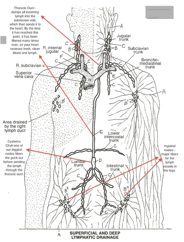 Anatomy Veins And Arteries Coloring