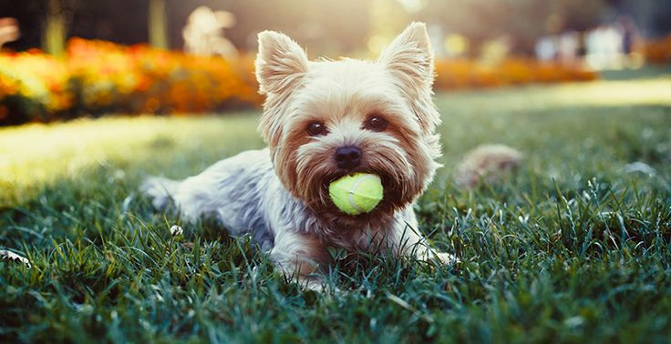 Your puppy is all grown up. When your dog turns one, he/she is officially an adult, and as a grown-up dog, he or she has specific needs to stay healthy and happy. Read More