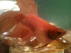 Swim bladder disease if rarely fatal, but without treatment it can be serious.  Learn how to treat Betta fish swim bladder disease. http://ibettayoucan.com/how-to-treat-betta-fish-swim-bladder-disease
