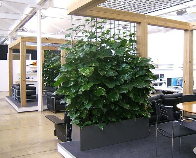 Private meeting rooms in an open plan office area - the lungs of this creative workspace - using indoor plant climbers in troughs for a contemporary setting