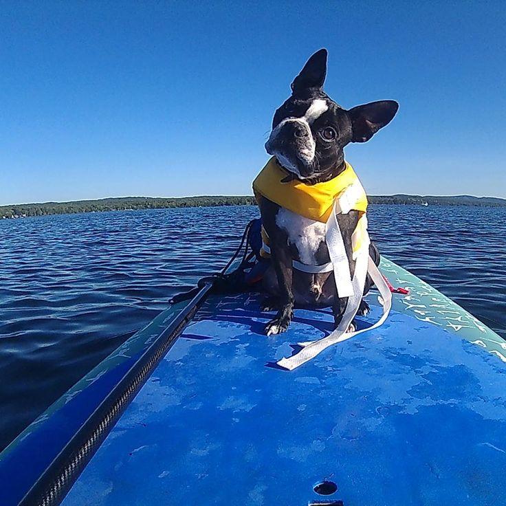 Flash le boston terrier navigant sur son paddle board !