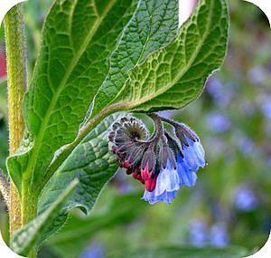 Smeerwortel als EHBO: smeerwortelblad aftreksel, geraspte smeerwortel, smeerwortel-tinctuur
