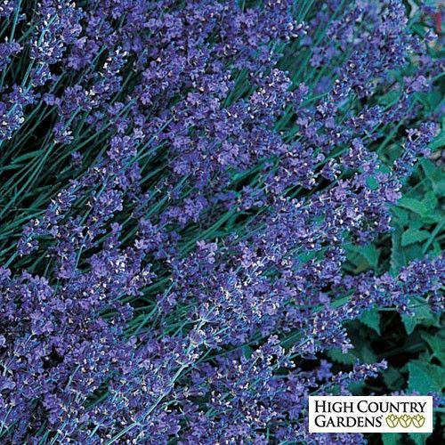 Blue and Purple Lavandula angustifolia Buena Vista, Lavandula angustifolia Buena Vista, Buena Vista English Lavender