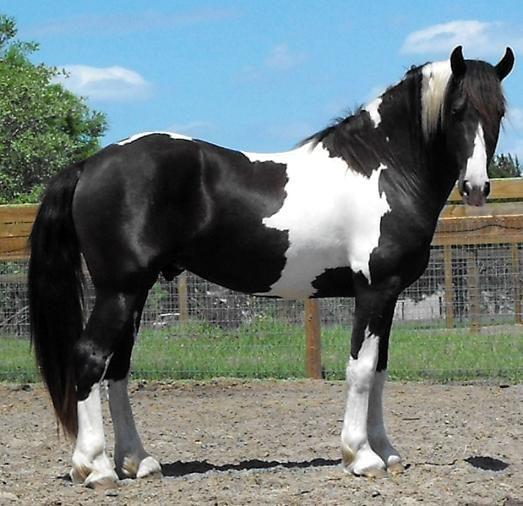 black tobiano - 50% Friesian, 25% Dutch Warmblood, 25% Georgian Grande stallion Americus ROF