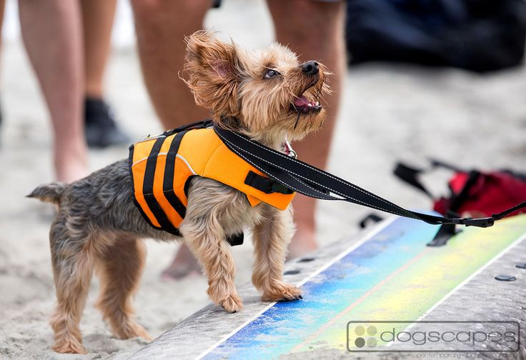 Ready for the first wave at So Cal Surf Dog lessons at Del Mar Dog Beach, San Diego! #surfing #dogs :: More photos at www.dogscapes.com/blog