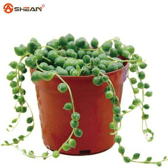 Les 25 meilleures id es de la cat gorie chlorophytum sur - Plante interieur anti humidite ...