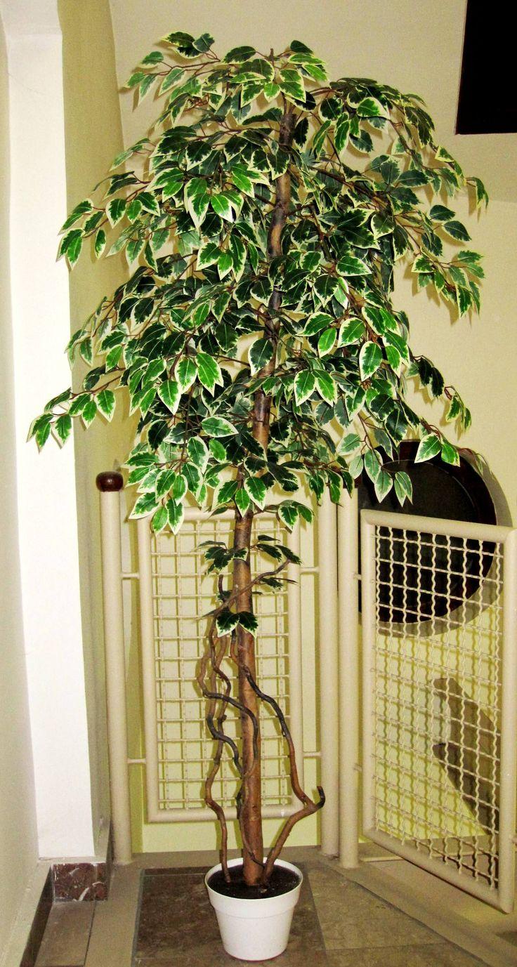 180 cm-es mű ficus fa, tarka