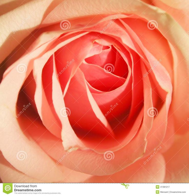 Close-up photo about a pink rose