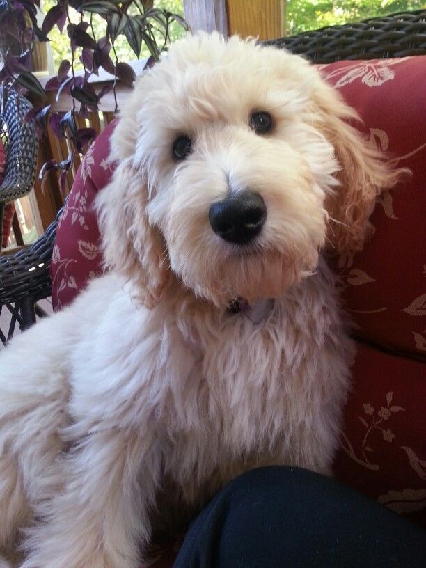goldendoodle haircut my favorite dog doodle and what a face fluffy dogs goldendoodle haircuts