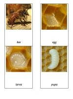 Free Montessori cards for the Life Cycle of a bee.
