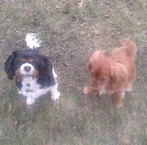 We're Corki and Poppy (tri colour and ruby Cavalier King Charles Spaniels). I Poppy (the ruby one) was really quite naughty and managed to escape my crate and jump high enough to knock down an open pack of chocolate my Mum had left out.     It was all very yummy but oh dear it got me into a lot of trouble.