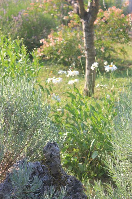 Front garden: rock, lavender, Shasta daisies, abelia, and purple plum