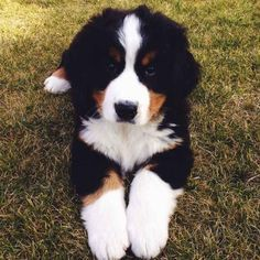 Here's a Bernese mountain dog puppy because if we're being honest they are the cutest puppies of all time.