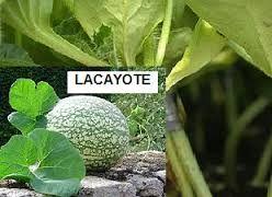 Resultado de imagen para Lacayote