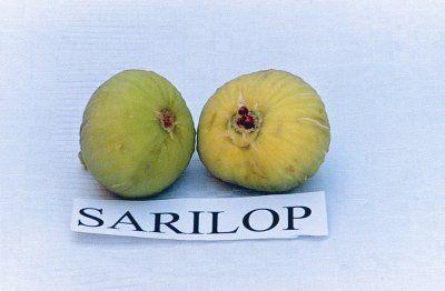 Taze sarılop meyveleri