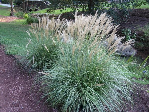 Miscanthus sinensis 39 adagio 39 dwarf maiden grass dry for Maiden grass landscaping ideas