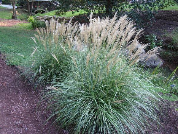 Miscanthus sinensis 39 adagio 39 dwarf maiden grass dry for Dwarf decorative grasses