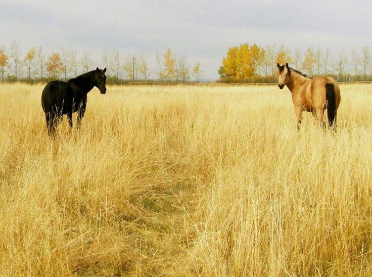 Amber Marshall's (Heartland) horses- Tango and Cash