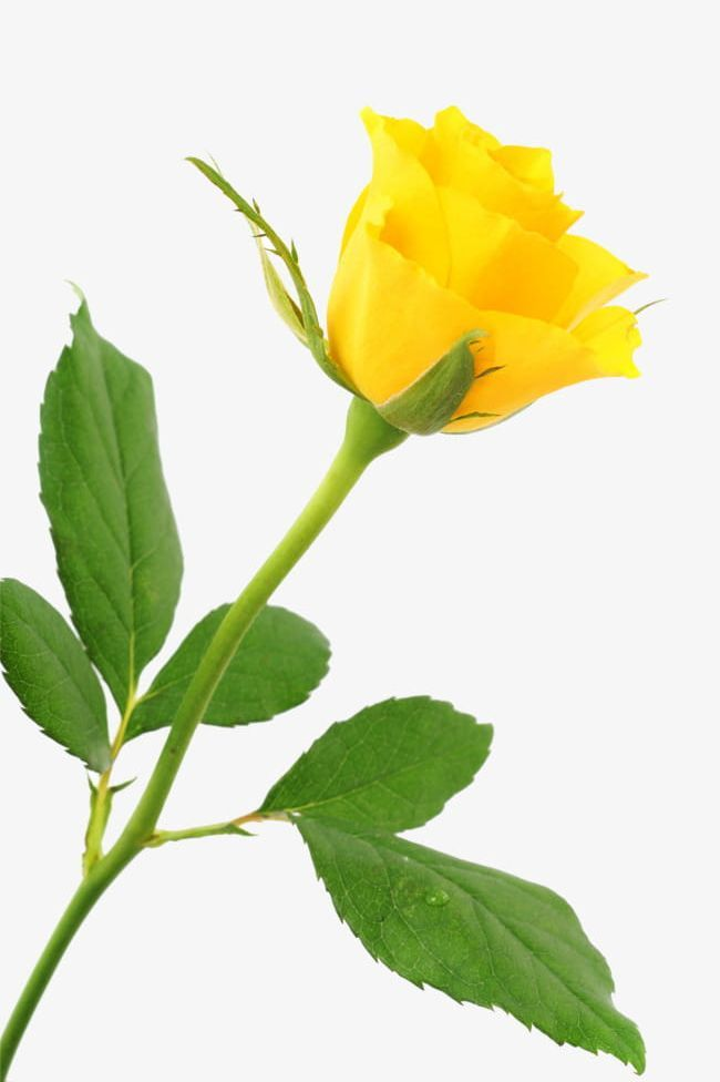 A Yellow Rose Png A Clipart A Yellow Rose Festival Flower Green Yellow Rose Flower Pretty Flowers Pictures Rose Flower Wallpaper