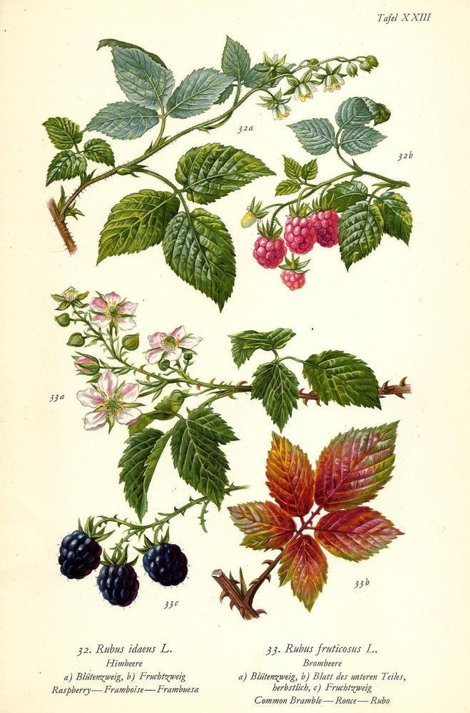 HIMBEERE BROMBEERE Botanik Farbdruck Antiker Druck Antique Botanical Print