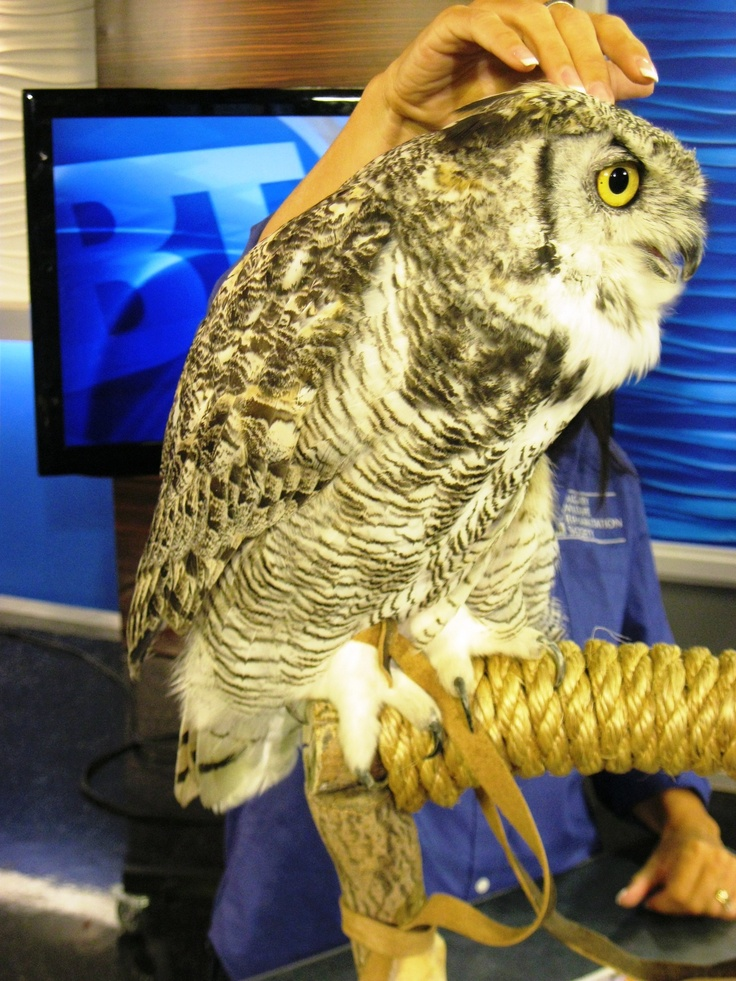 Our resident Great Horned Owl, Oberon, made his TV debut on Breakfast Television
