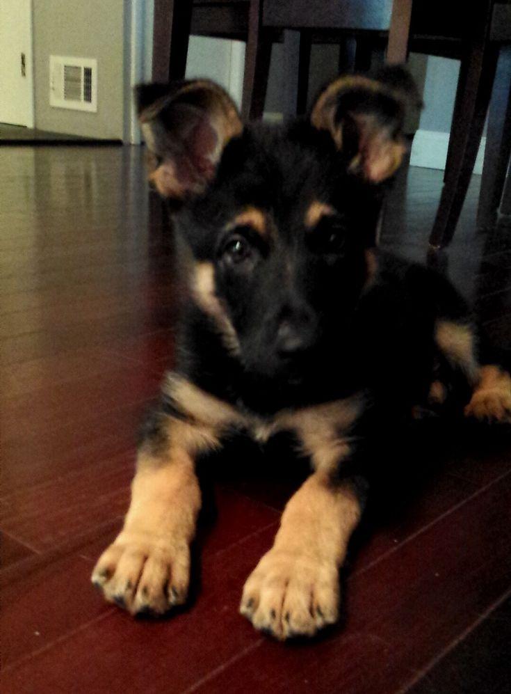 1000 Ideas About Baby German Shepherds On Pinterest