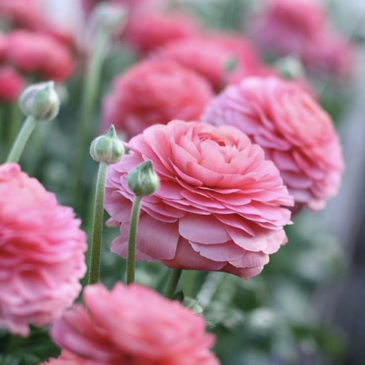 Italian Ranunculus Success Fragolino –The bright pink to end all bright pinks! Shocking (in a good way) pink petals beg to be noticed and make a dramatic statement.  The huge flowers are formed by many soft, paper like petals. Easily compared to peonies but with a much better shelf life. The flowers are large and thick on sturdy stems, making the best cut flowers we've seen in a long time.