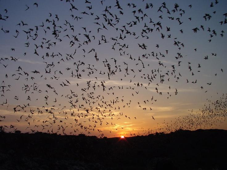 El Servicio de Parques Nacionales muestra el éxodo nocturno de los murciélagos de Carlsbad Parque Nacional de las Cavernas de Nuevo México (Nick Hristov/AP)