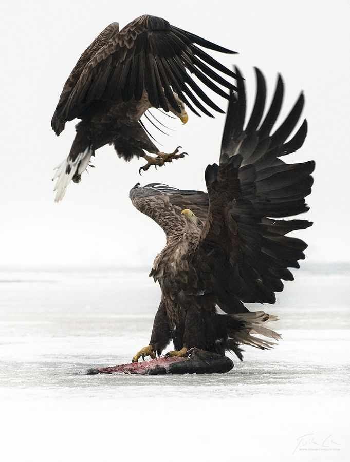 Eagles fight #Birds: Eagles Fight, Animal Pictures, Aerial Assault, Creatures, American Eagles,  American Eagle, Amazing Animal, Bald Eagles, Photography