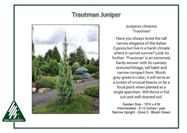 Trautman Juniper Juniperus Chinensis Trautman Is A Hardy Alternative To The Temperate Italian Cypress Th Front Yard Plants Conifers Garden Landscaping Trees