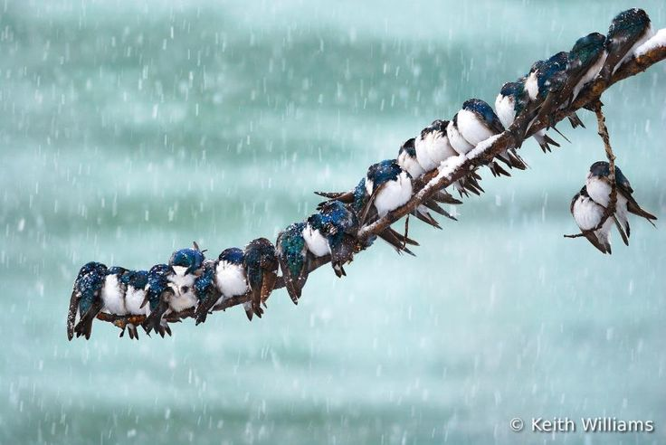 "Keith Williams, Canada. ""Spring snowstorm"" (Tree Swallow, Tachycineta bicolor)."