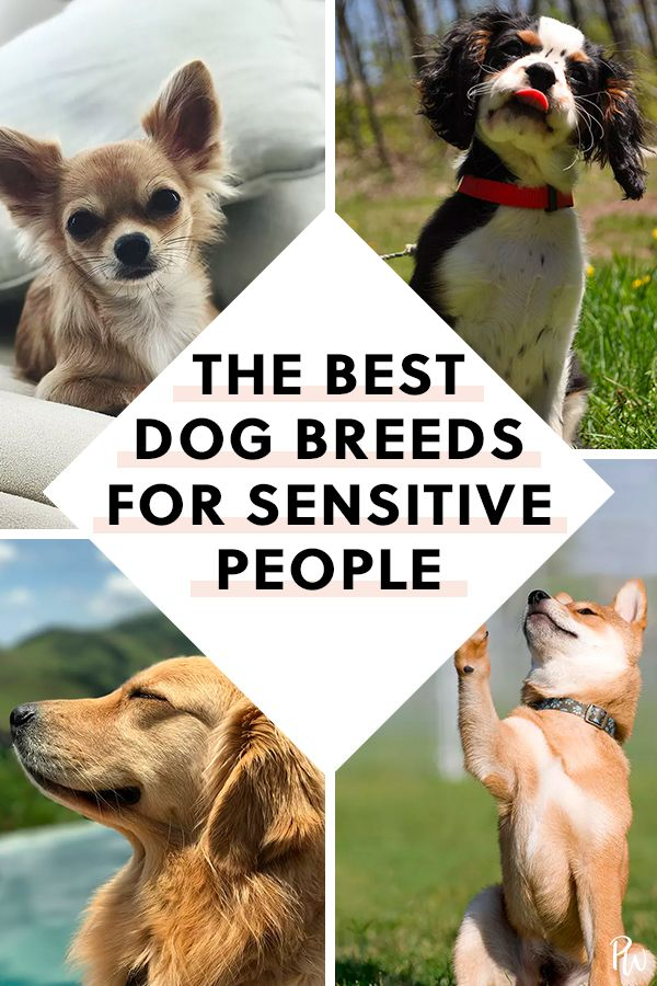 The Best Dogs For Highly Sensitive People Sensitive People Dogs