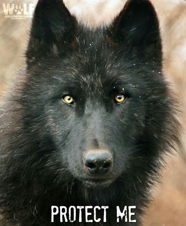1742 Best Wolves Images On Pinterest