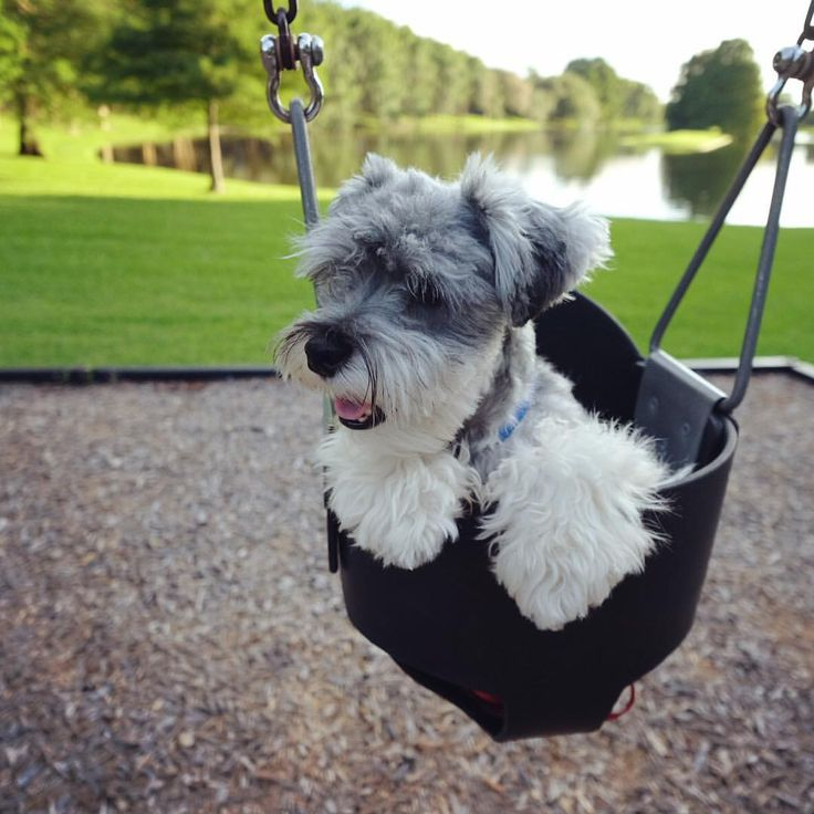 """1,312 Likes, 39 Comments - (wonder)Wally  (@wonderwallythedog) on Instagram: """"Tiny tongue out Tuesday enjoying the swing and a pretty view.  • • • #swings #tot…"""""""