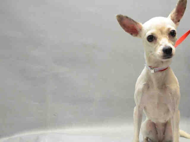 PENELOPE - A1098333 - - Brooklyn  Please Share:TO BE DESTROYED 12/05/16 **NEEDS A NEW HOPE RESCUE TO PULL** -  Click for info & Current Status: http://nycdogs.urgentpodr.org/penelope-a1098333/