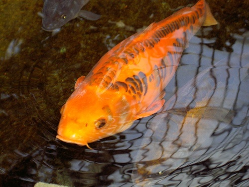 76 best koi pond card game images on pinterest koi for Fish pond game