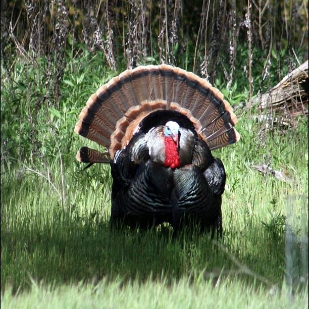 Tom Turkey oh my gosh Turkey Season come FASTER!!