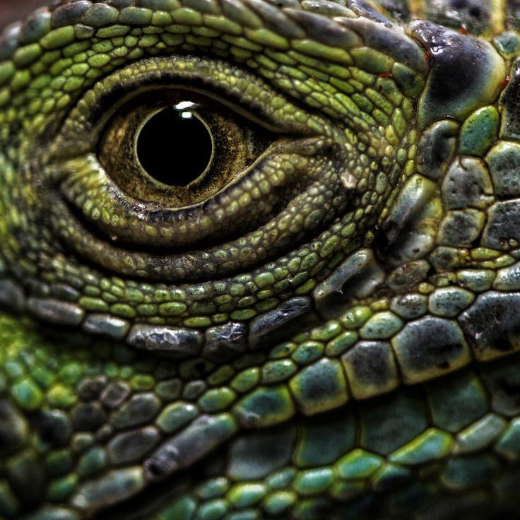 lizard's eye by Hussain almutawaa