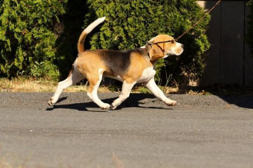 Sealgair Millionaire (Richo) - Vienna Calling – The Beagle Kennel