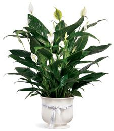 Una pianta fiorita che non richiede cure particolari? Lo Spatifilium! Una pianta d'appartamento sempreverde e adatta a molte occasioni!