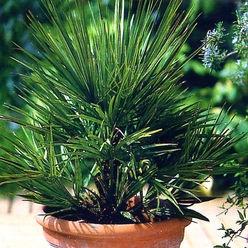 Zwergpalme (Chamaerops humilis)
