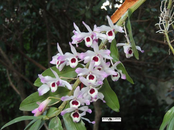 As orquídeas epífitas constituem, por sua presença, uma importante característica da vegetação dos trópicos. São famosas pela beleza ornamental de suas flores. Fotografia:Simone Seffrin