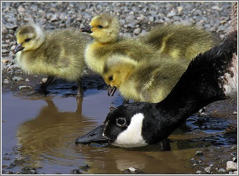 baby canada goose for sale