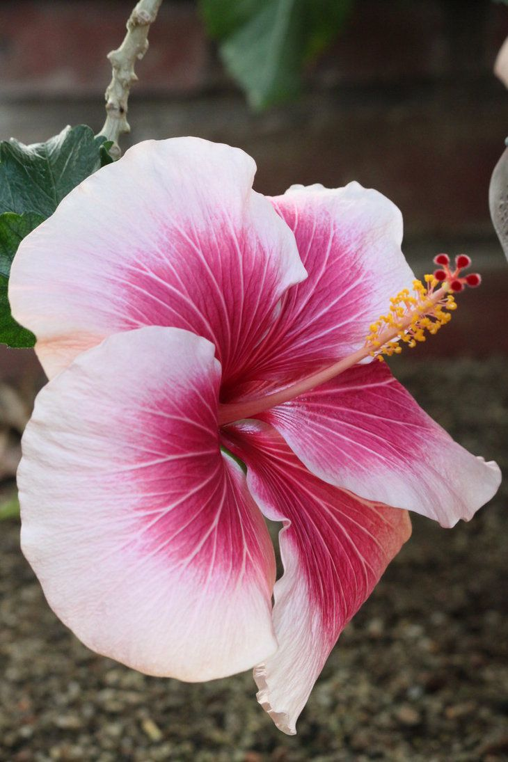 1460 Best Hibiscus Images On Pinterest